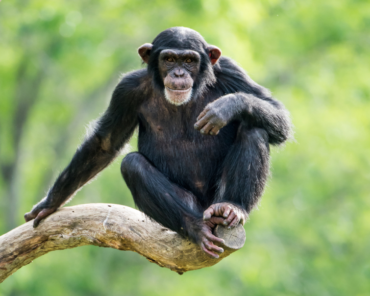 Ontsnapte chimpansees